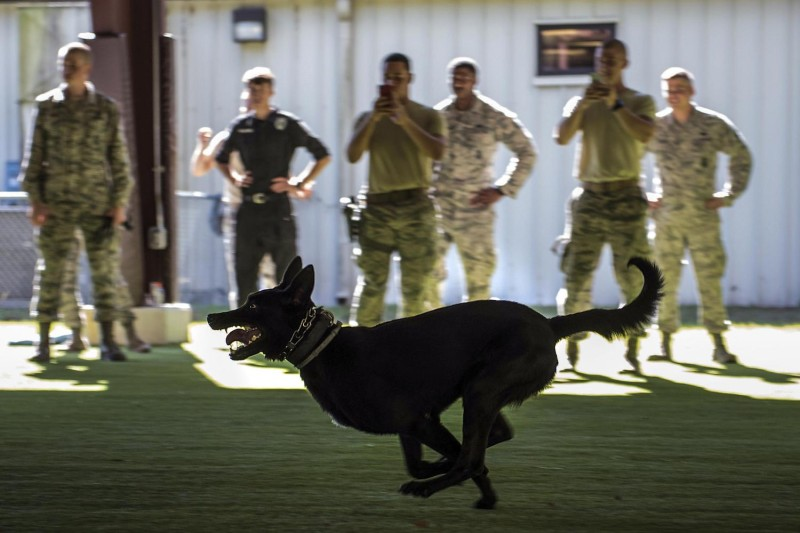 A military working dog on the run. (Department of Defense)