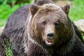 A brown bear. (Flickr)