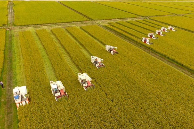 Farmers harvest rice in China's Jiangsu province  on Oct. 23. (Visual China Group via Getty Images)