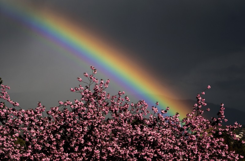 A rainbow glows in the sky behind trees in blossom on April 11, 2012 over the city of Geneva.  (Fabrice Coffrini/AFP/Getty Images)