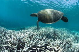 A sea turtle swims over bleached coral at Heron Island on the Great Barrier Reef in Queensland, Australia, in February 2016. (The Ocean Agency/XL Catlin Seaview Survey/Richard Vevers)