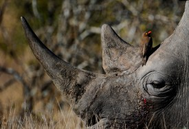 A bird sitting on the head of a white rhino at Kruger National Park in South Africa on June 22, 2010.   (PIERRE-PHILIPPE MARCOU/AFP/Getty Images)