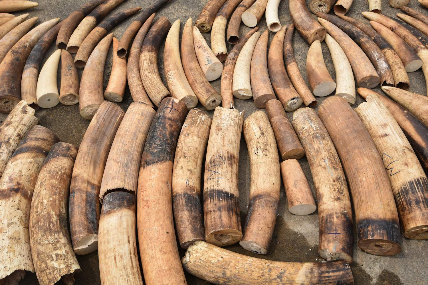 Seized elephant ivory are displayed at the headquarters of the country's Transnational Organised Crime Unit (UCT) in Abidjan on January 25, 2018.  A ton of ivory and a ton of pangolin scales were seized in Ivory Coast, according to eco activist group Eagle. Six people had been arrested on January 24, 2018. Some 400 objects of carved Ivory, panther skins, ivory carving machines and weapons were seized by police officers from the UCT. / AFP PHOTO / Sia KAMBOU        (Photo credit should read SIA KAMBOU/AFP/Getty Images)