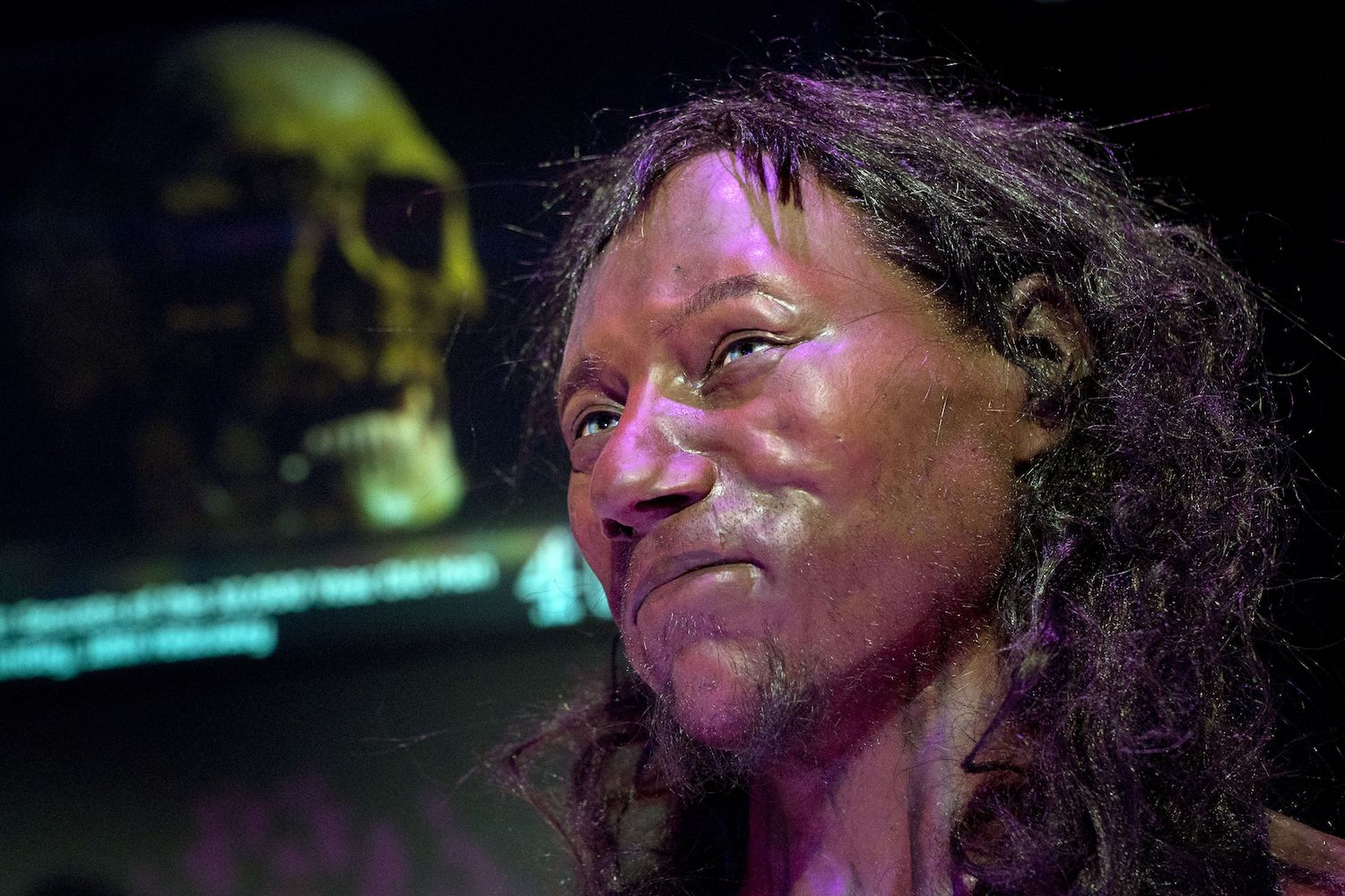 A full face reconstruction model made from the skull of a 10,000 year old man, known as 'Cheddar Man', Britain's oldest complete skeleton is pictured during a press preview at the National History Museum in London on February 6, 2018. **PLEASE NOTE: PHOTOGRAPHS ARE EMBARGOED UNTIL 00.01 GMT February 7, 2018**   / AFP PHOTO / Justin TALLIS        (Photo credit should read JUSTIN TALLIS/AFP/Getty Images)