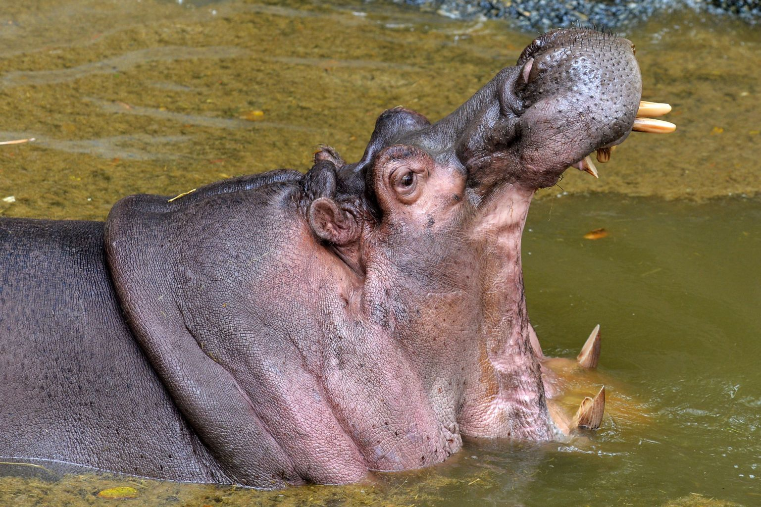 Karthik, a 27-year-old hippopotamus, opens its mouth in its enclosure at the Bannerghatta Biological Park in Bangalore on February 9, 2018.    / AFP PHOTO / MANJUNATH KIRAN        (Photo credit should read MANJUNATH KIRAN/AFP/Getty Images)