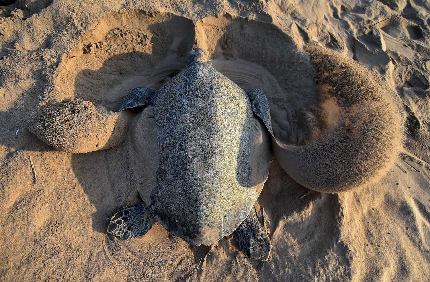 An Olive Ridley sea turtle digs a hole to lay eggs on Rushikulya Beach, some 140 kilometres (88 miles) southwest of Bhubaneswar in India's eastern Odisha state, on Feb. 23. (ASIT KUMAR/AFP/Getty Images)