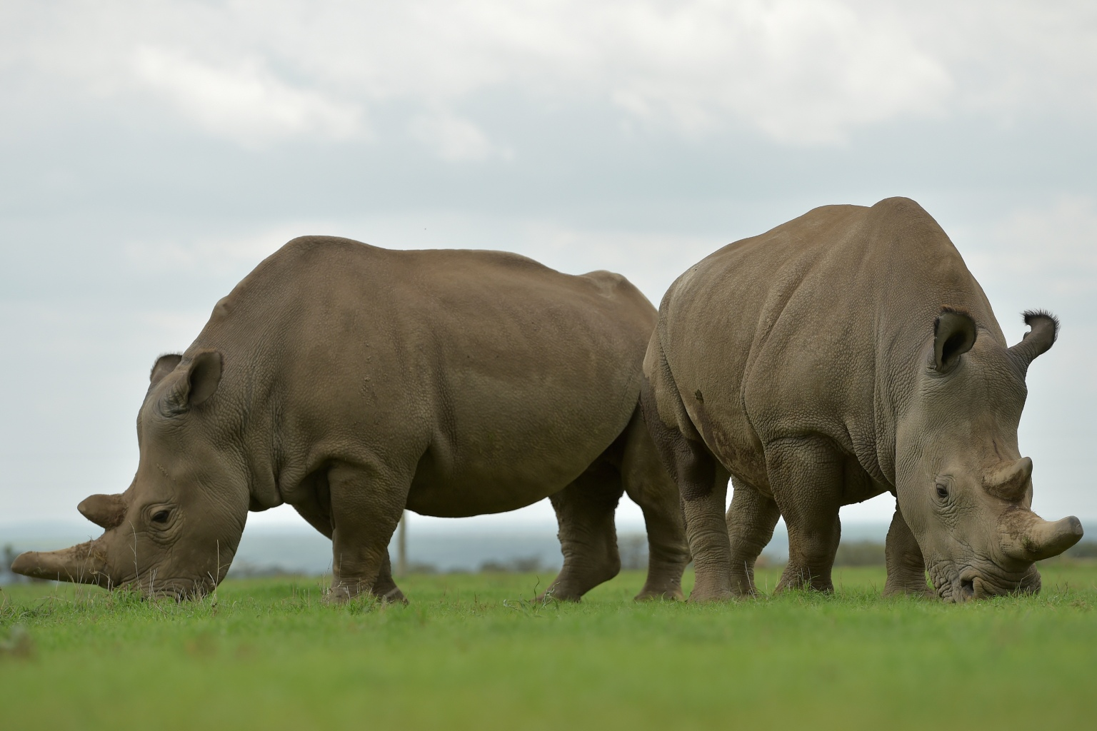 Najin (L) and Fatu, the only two remaining female northern white rhinos graze together in their paddock on March 20, 2018 at the ol-Pejeta conservancy in Nanyuki, north of capital Nairobi. Sudan, the last male northern white rhino, has died in Kenya at the age of 45, after becoming a symbol of efforts to save his subspecies from extinction, a fate that only science can now prevent.  / AFP PHOTO / TONY KARUMBA        (Photo credit should read TONY KARUMBA/AFP/Getty Images)