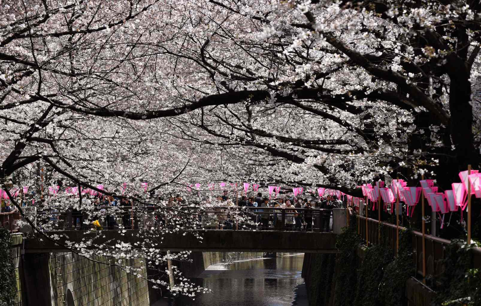 TOPSHOT - People walk under cherry blossoms in full bloom in Tokyo on March 23, 2018. The meteorological agency said this year's first blossoms appeared nine days earlier than average due to warm weather. / AFP PHOTO / Kazuhiro NOGI        (Photo credit should read KAZUHIRO NOGI/AFP/Getty Images)