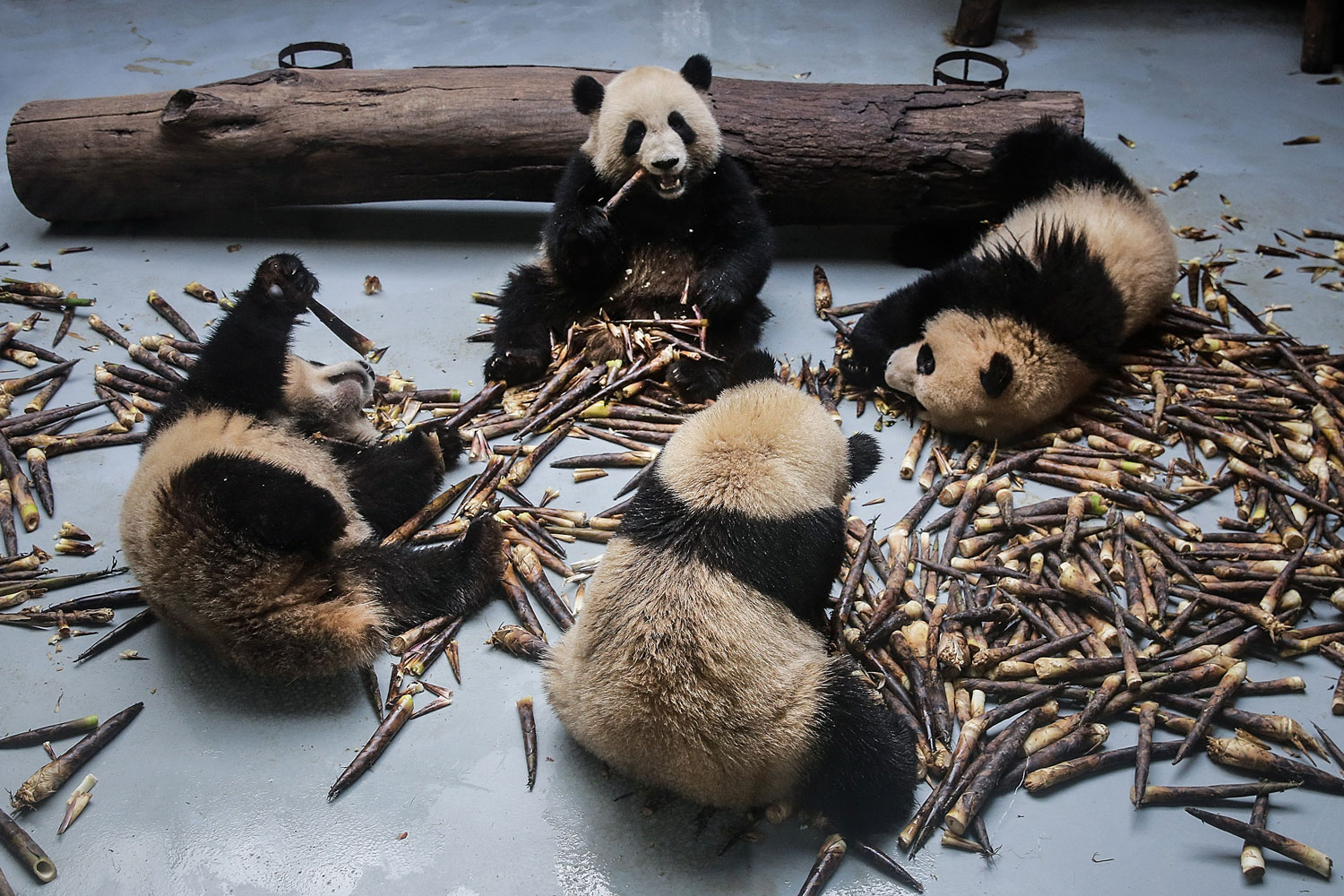 Pandas gnaw on bamboo shoots on April 3 at the Chengdu Giant Panda Breeding Research Base in Sichuan Province, China. Built in 1987, the facility cares for more than 100 giant pandas and aims to increase the captive population and ultimately reintroduce them to the wild. (Wang He/Getty Images)