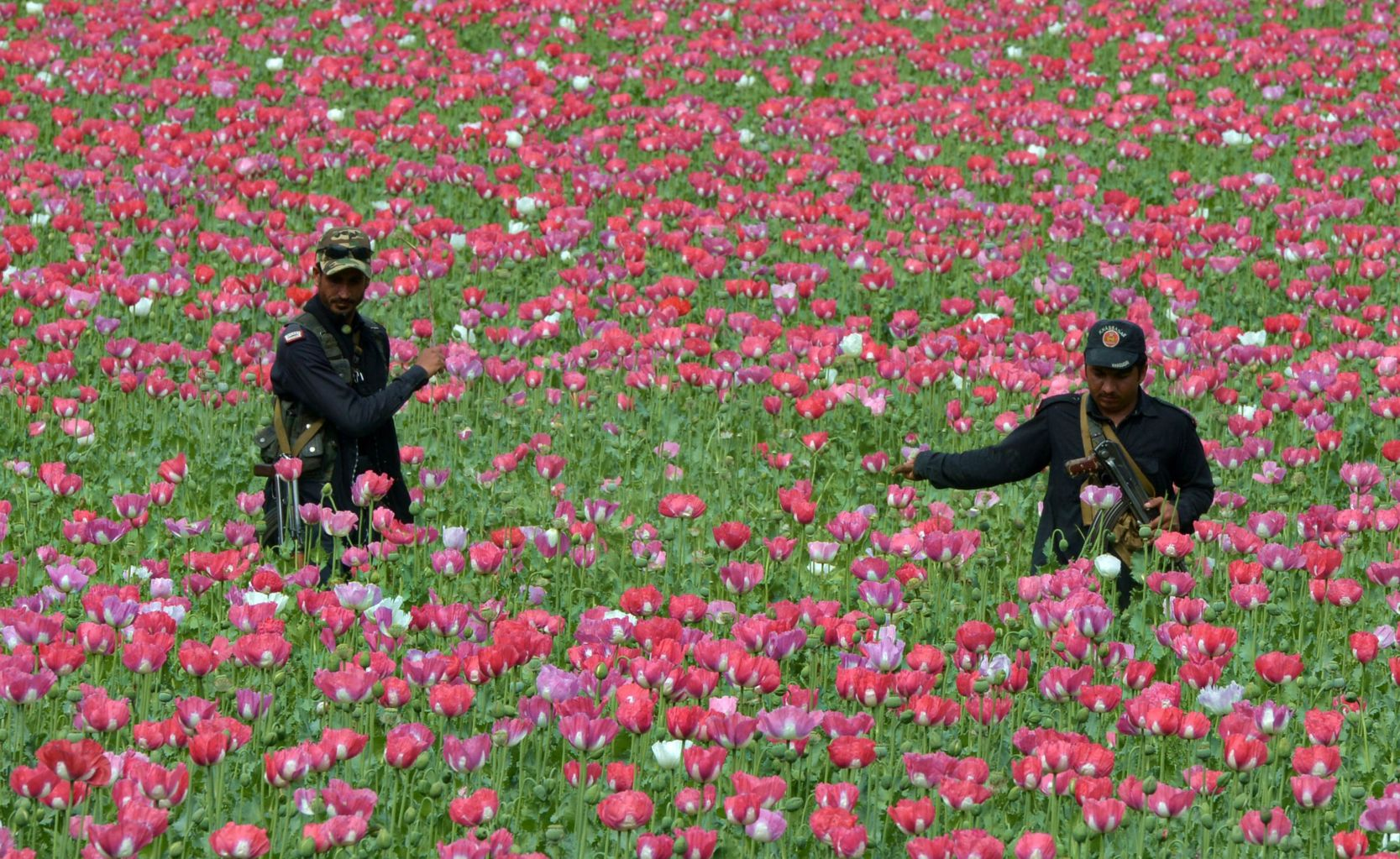 TOPSHOT - Pakistani Khasadaar Force personnel destroy poppy crops in the Prang Ghar area of tribal Mohmand Agency, about 100 kilometers from Peshawar, on April 5, 2018.  The political administration of Mohmand Agency has destroyed poppy crops on more than 100 acres of land. / AFP PHOTO / ABDUL MAJEED        (Photo credit should read ABDUL MAJEED/AFP/Getty Images)