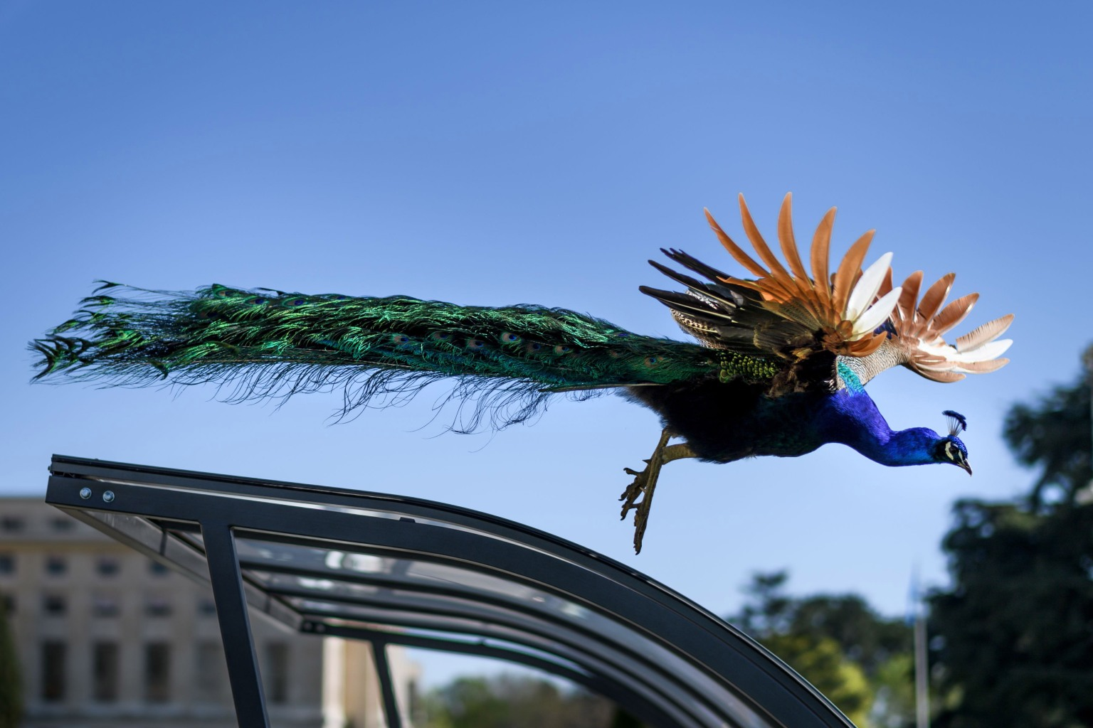 One of the famous peacocks of the United Nations offices in Geneva flies down from a bicycle shed on April 19. The peacocks roam freely on the grounds of Ariana Park, which surrounds the U.N. offices. FABRICE COFFRINI/AFP/Getty Images