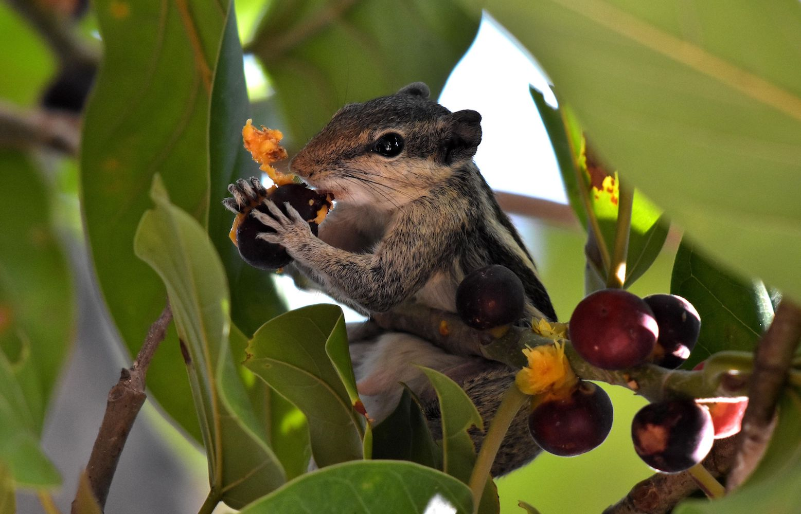An Indian palm squirrel eats a Banyan tree fruit as it sits on the branch of a tree in Bhubaneswar on April 13, 2018. The Indian palm squirrel is naturally found in parts of India and Sri Lanka. / AFP PHOTO / ASIT KUMAR        (Photo credit should read ASIT KUMAR/AFP/Getty Images)