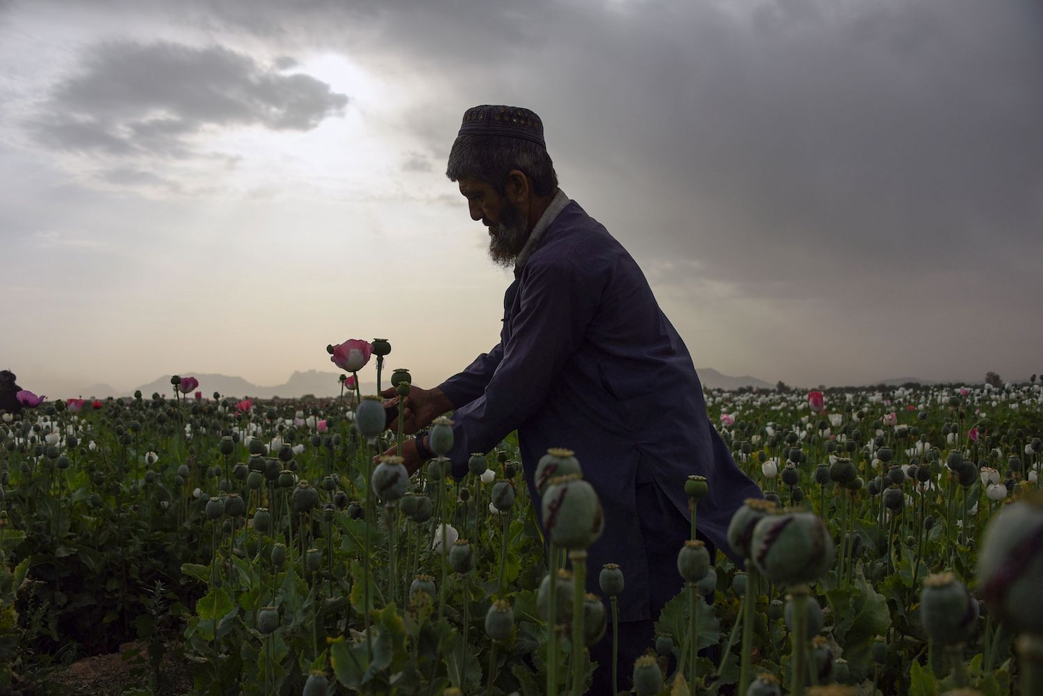 An Afghan farmers harvests opium sap from a poppy field in Zari District in Kandahar province on April 9, 2018. The US government has spent billions of dollars on a war to eliminate drugs from Afghanistan, but the country still remains the world's top opium producer. / AFP PHOTO / JAVED TANVEER        (Photo credit should read JAVED TANVEER/AFP/Getty Images)