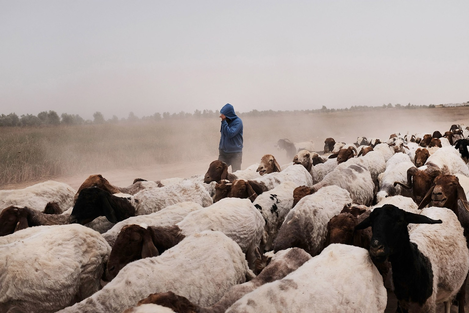 A teenager leads a flock of sheep along the Israeli border with Gaza on May 10. Spencer Platt/Getty Images