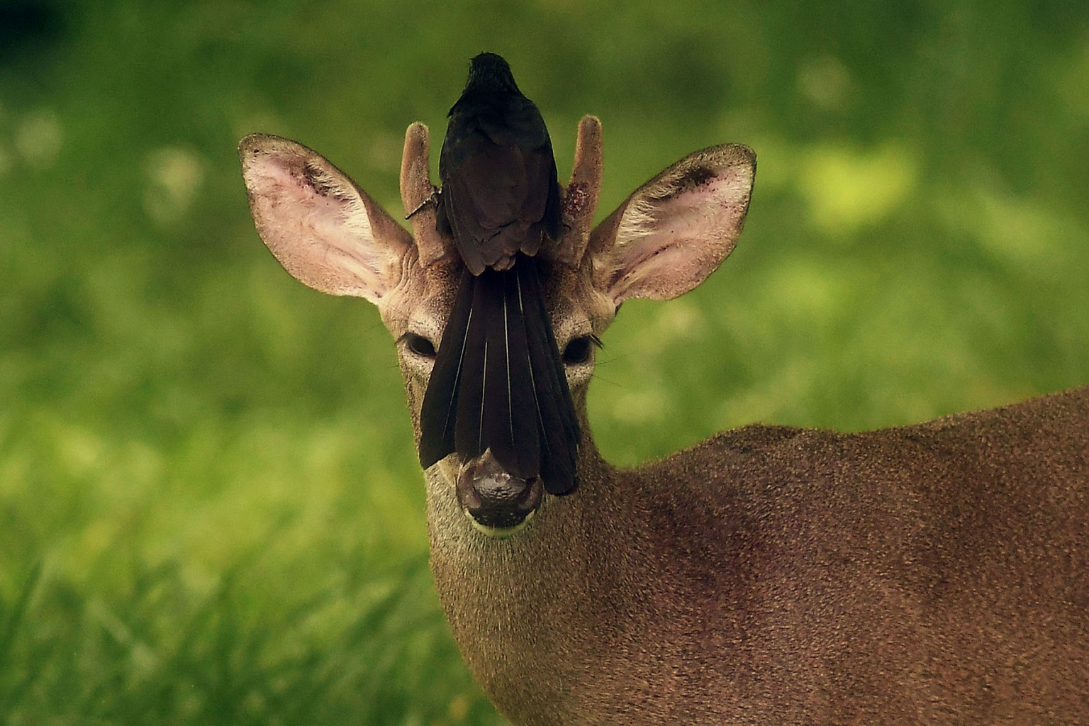 A bird rests on the head of a white-tailed deer roaming free in San Jose Villanueva, southwest of San Salvador, on May 21. MARVIN RECINOS/AFP/Getty Images