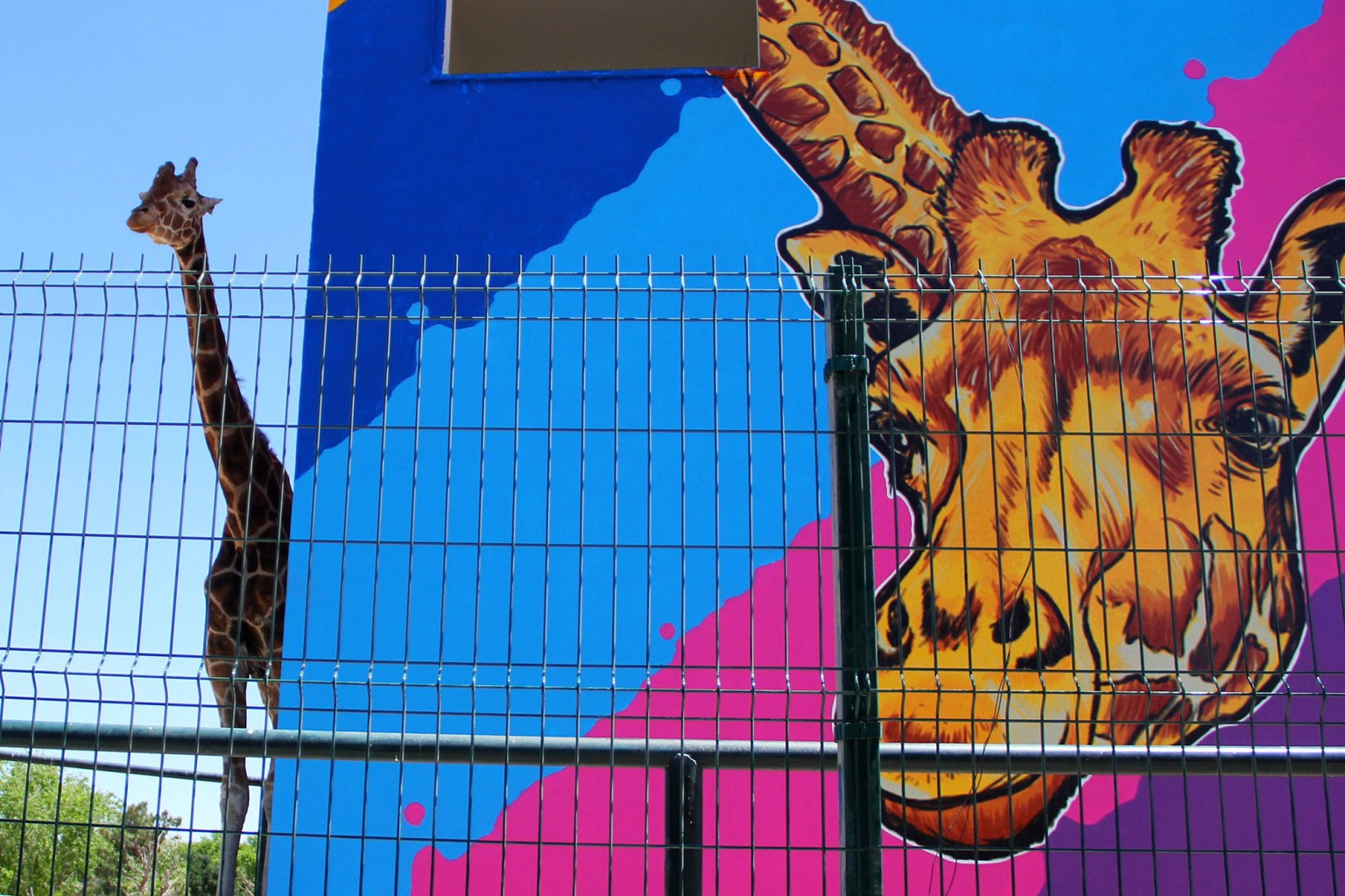 Modesto, a male giraffe considered the mascot of Ciudad Juarez, is pictured on the 18th anniversary of his time at the Central Park in Ciudad Juarez, Mexico, on April 29. HERIKA MARTINEZ/AFP/Getty Images