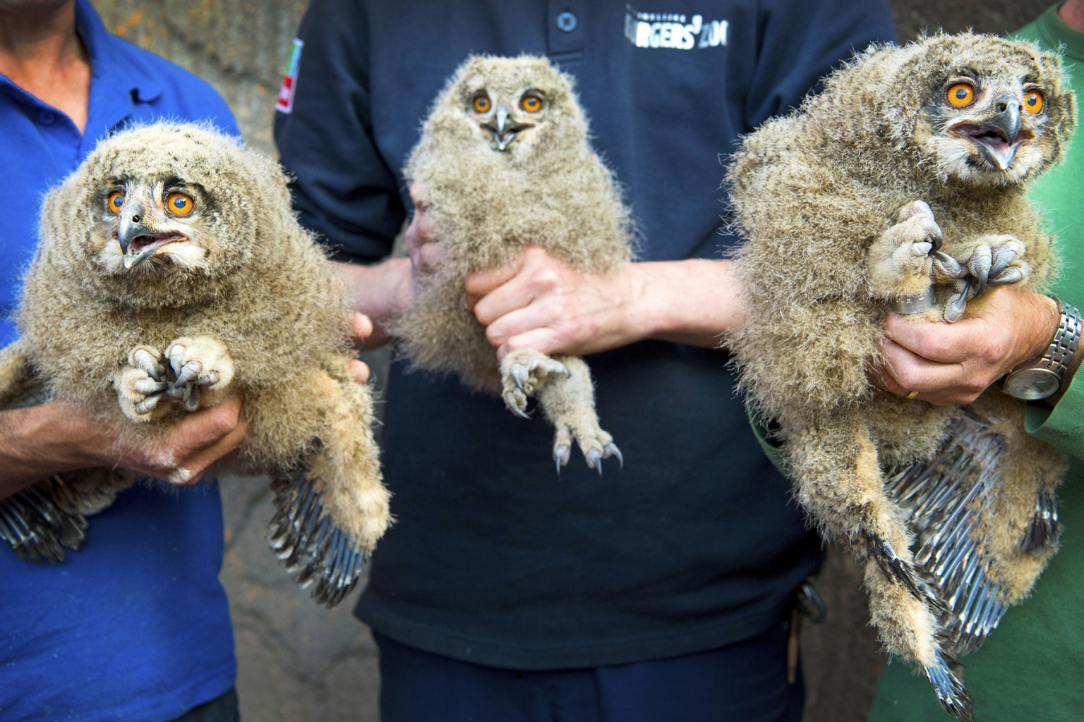 Three young wild owls are measured, weighed, and ringed at a zoo in Arnhem, the Netherlands, on May 23. The Eurasian eagle-owl is one of the world's largest owls, growing to have wing spans up to 6 feet. PIROSCHKA VAN DE WOUW/AFP/Getty Images