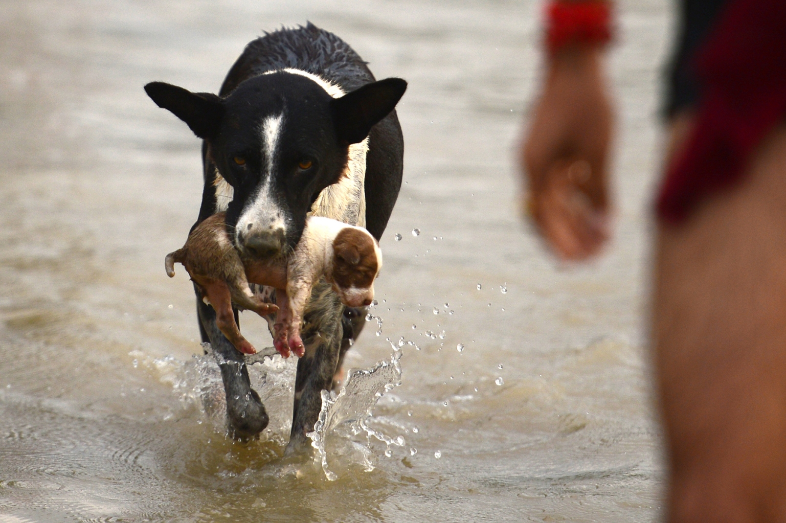 A dog transfers a puppy to drier ground as water levels of the Ganges and Yamuna rivers rise following monsoon rains in Allahabad, India, on Sept. 3. SANJAY KANOJIA/AFP/Getty Images