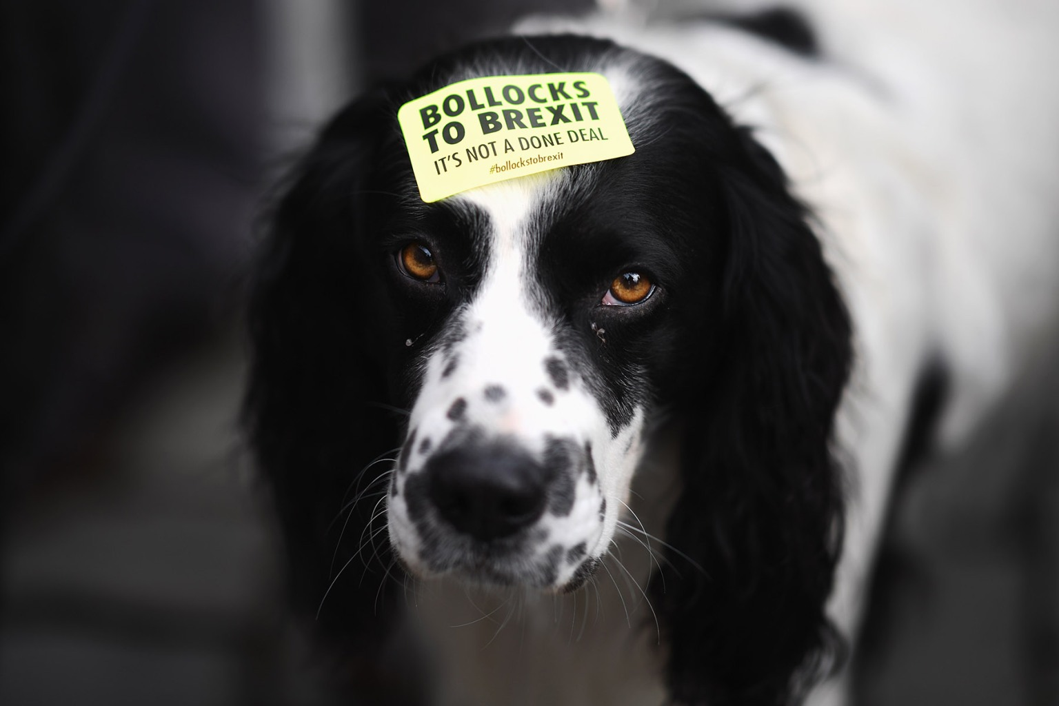 A demonstrator's dog is seen during the March For The Many, calling for a people's vote on the final outcome of the government's Brexit negotiations, in Liverpool, England, on Sept. 23. Jeff J Mitchell/Getty Images