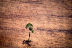 A single tree stands in a deforested area of Pará on Oct. 14. (Raphael Alves/AFP/Getty Images)