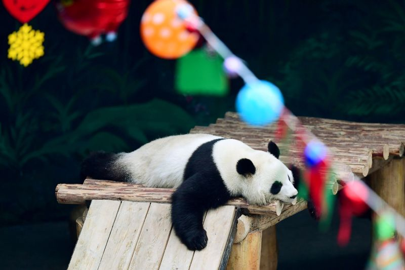 A panda sleeping at the Shenyang Forest Wild Zoological Garden in northeastern China on Dec. 30, 2017. (AFP/Getty Images)