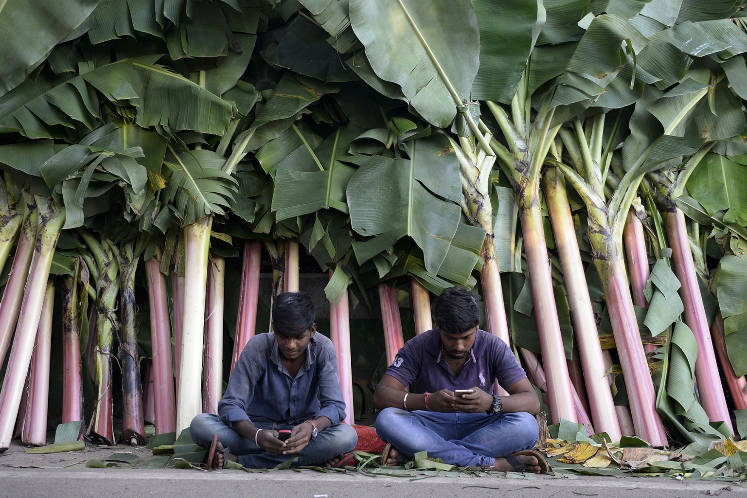 Vendors look at their phones at a market for banana leaves during Diwali in Hyderabad, India, on Nov. 7. People decorate the entrance of their homes and business centers with banana leaves during the Hindu festival of lights. NOAH SEELAM/AFP/Getty Images