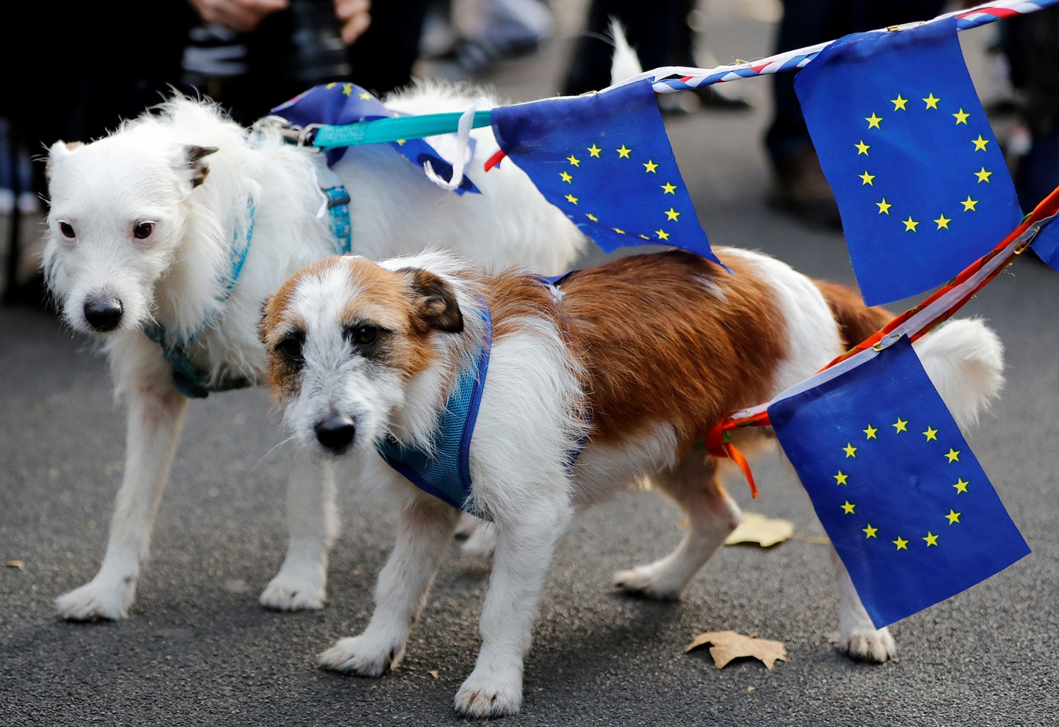 Dogs bearing European Union flags take part in an anti-Brexit protest protest outside the entrance to Downing Street in London on Nov. 14. TOLGA AKMEN/AFP/Getty Images