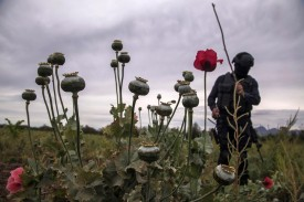 A police agent confiscates illegal poppy flowers during an operation in Sinaloa, Mexico on March 15. (Rashide Frias /AFP/Getty Images)
