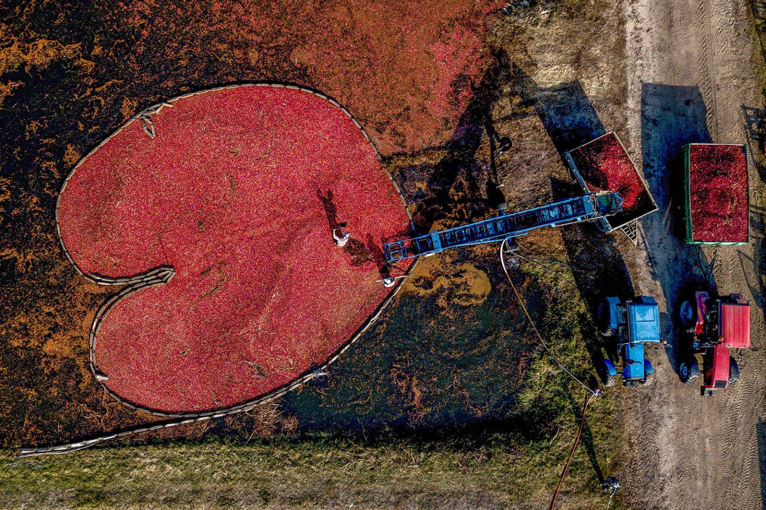 Workers harvest cranberries at the Polesskie Zhuraviny state farm in the village of Selishche, south of Minsk, Belarus, on Oct. 19. MAXIM MALINOVSKY/AFP/Getty Images