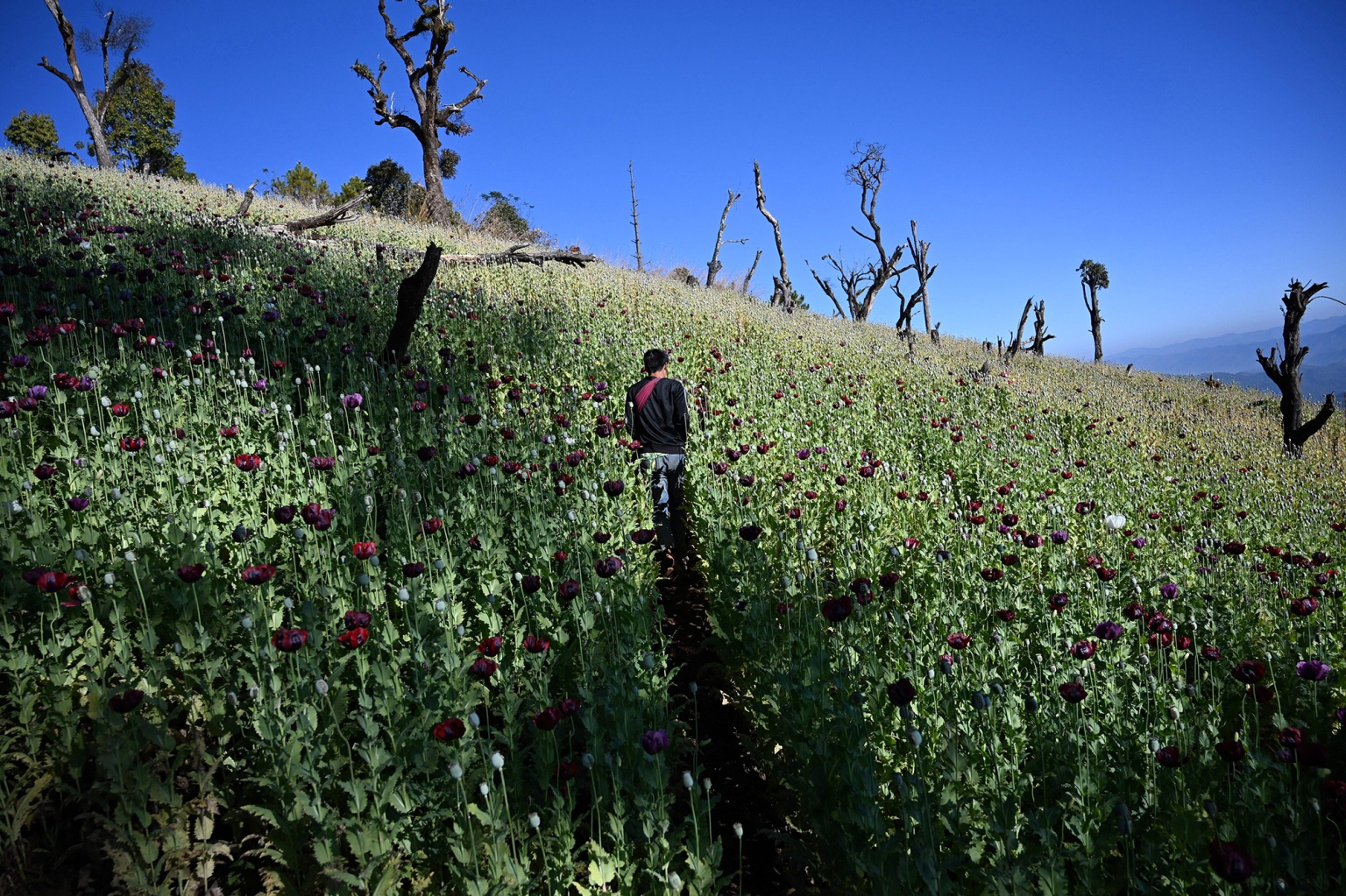 A farmer works in an illegal poppy field in Hopong, Myanmar, on Feb. 3. (Ye Aung Thu/AFP/Getty Images)