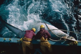 The crew of a Japanese whaling vessel drags an injured whale to the side of the ship during a scientific research mission in the Antarctic in 1993. (Mark Votier/Hulton Archive/Getty Images)