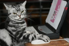 Maverick, an American shorthair, keeps his claw on the mouse as he uses a computer at a press preview for the Cat Fanciers' Association show at Madison Square Garden in New York on Oct. 10, 2007. (Don Emmert/AFP/Getty Images)