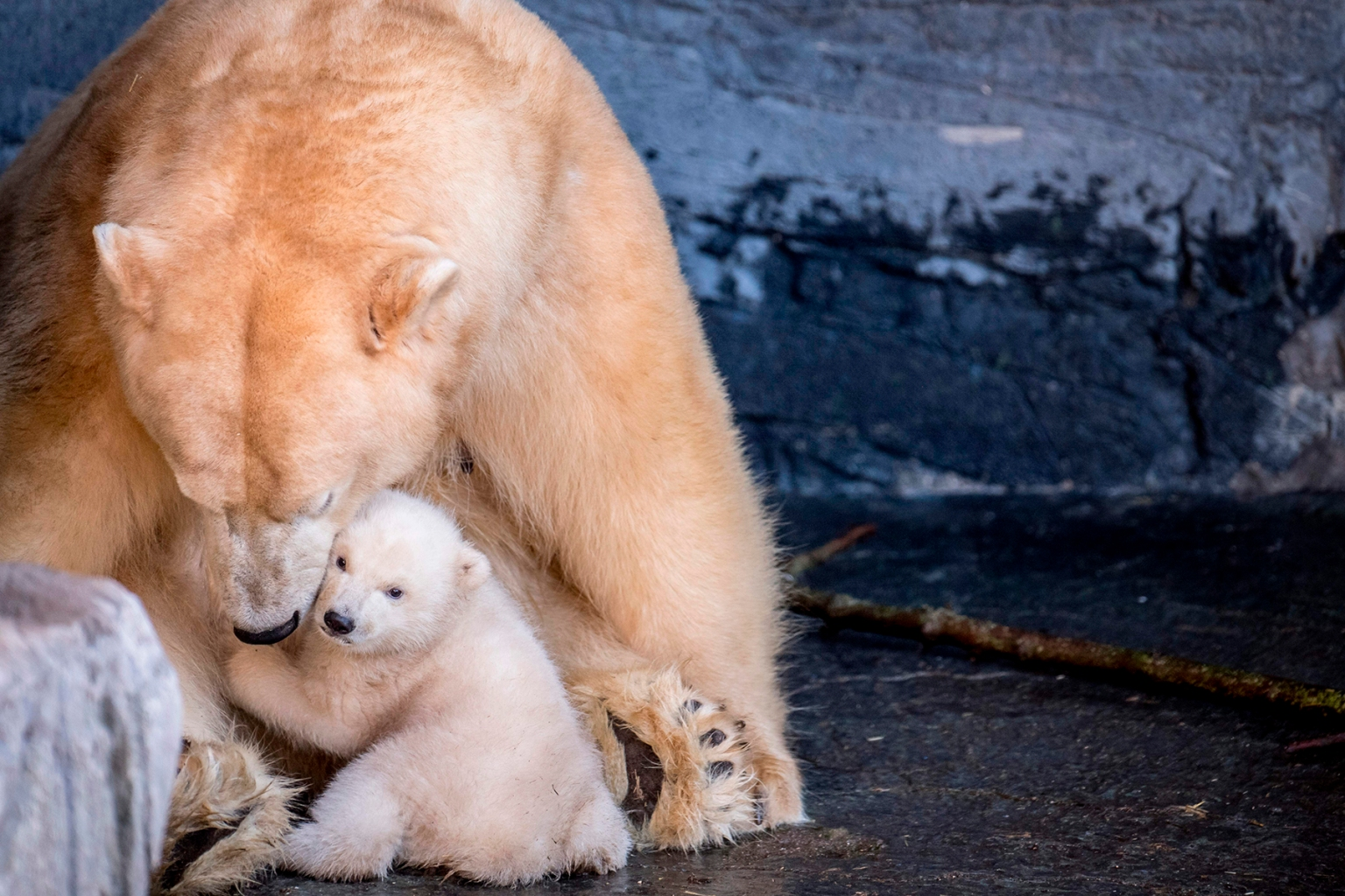 The polar bear cub at the Copenhagen Zoo comes outside for the first time on Feb. 28. MADS CLAUS RASMUSSEN/AFP/Getty Images