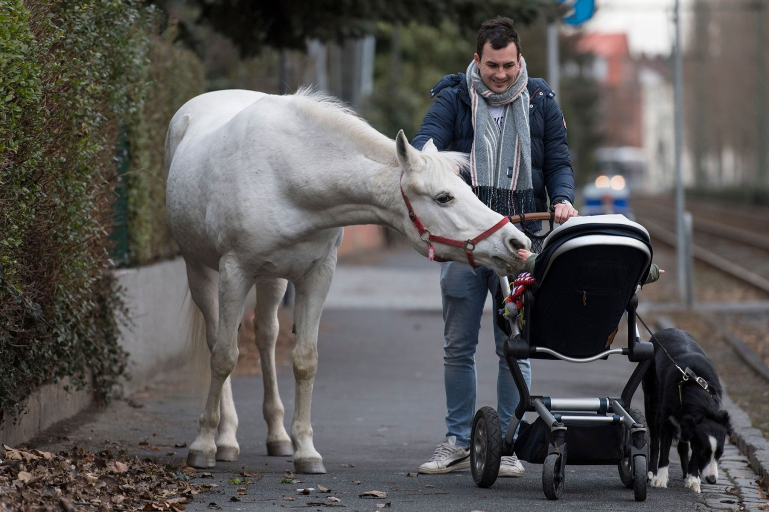"Jenny the horse inspects the baby of Raphael Wöllstein as he pushes a pram through the Fechenheim district of Frankfurt am Main, Germany, on March 8. Jenny is allowed to roam as her owner opens her stable door every day and fixes her with a sign reading ""My name is Jenny. I've not escaped, just taking a stroll.""  BORIS ROESSLER/AFP/Getty Images"