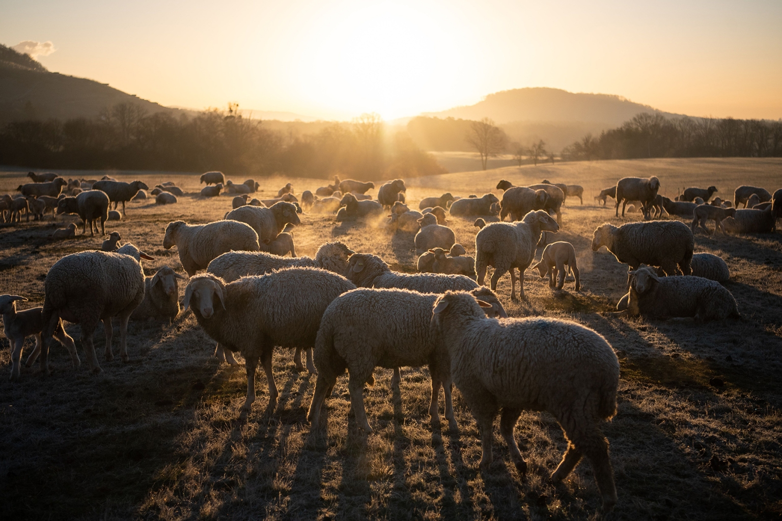 A flock of sheep stand on a meadow as sun rises in Maulbronn, southern Germany, on March 20. SEBASTIAN GOLLNOW/AFP/Getty Images