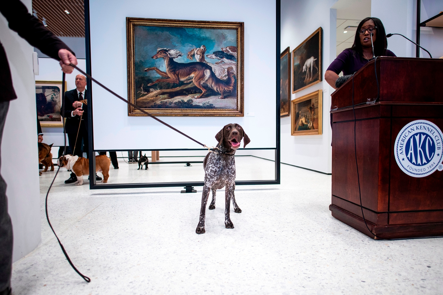 A German shorthaired pointer poses at the American Kennel Club's Museum of the Dog in New York City on March 20 during the announcement of the most popular breed in the United States—Labrador retreivers. JOHANNES EISELE/AFP/Getty Images