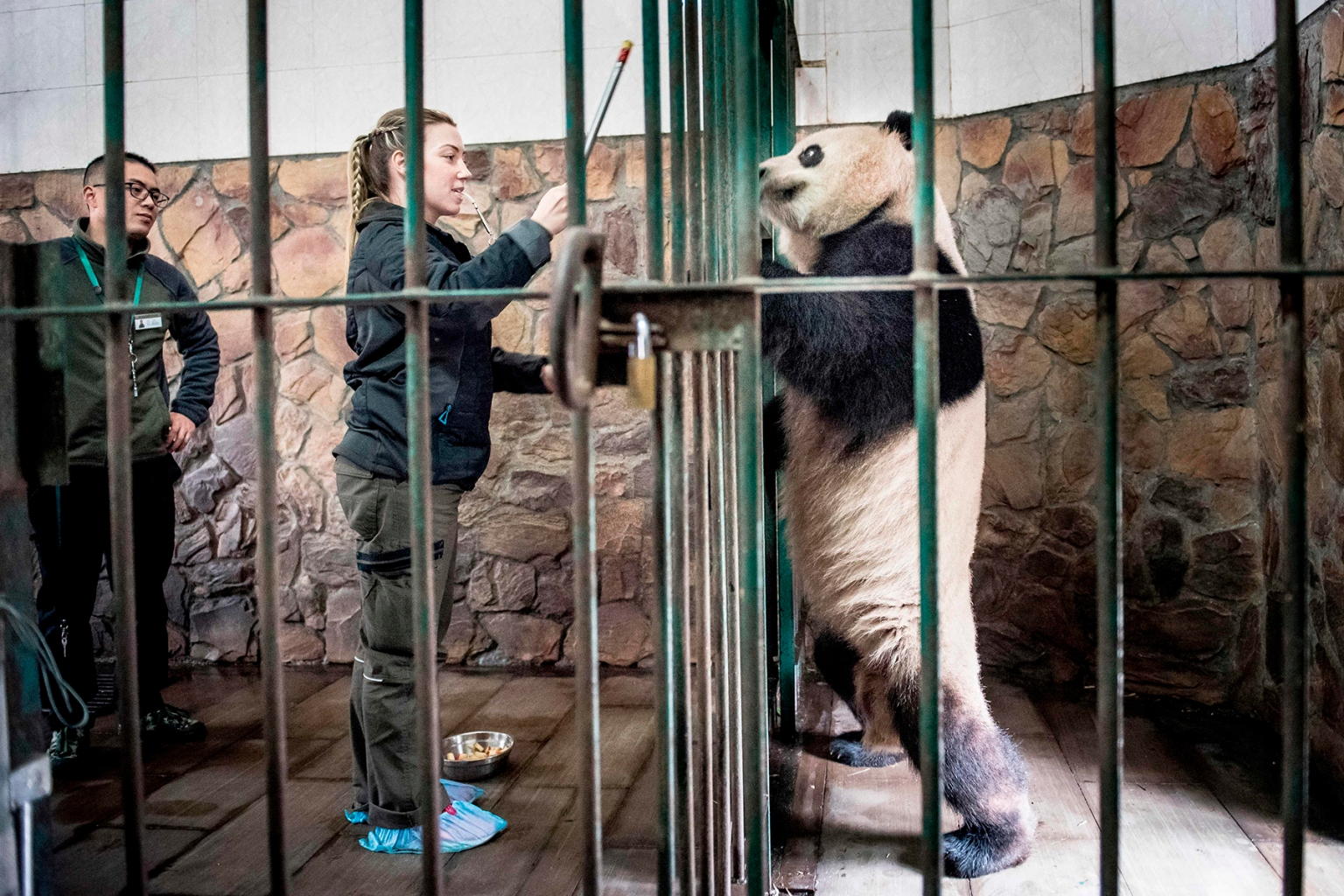 Danish zookeeper Pernille Goerup Andersen interacts with panda Xing Er at the Chengdu Research Base of Giant Panda Breeding in China on April 2. MADS CLAUS RASMUSSEN/AFP/Getty Images