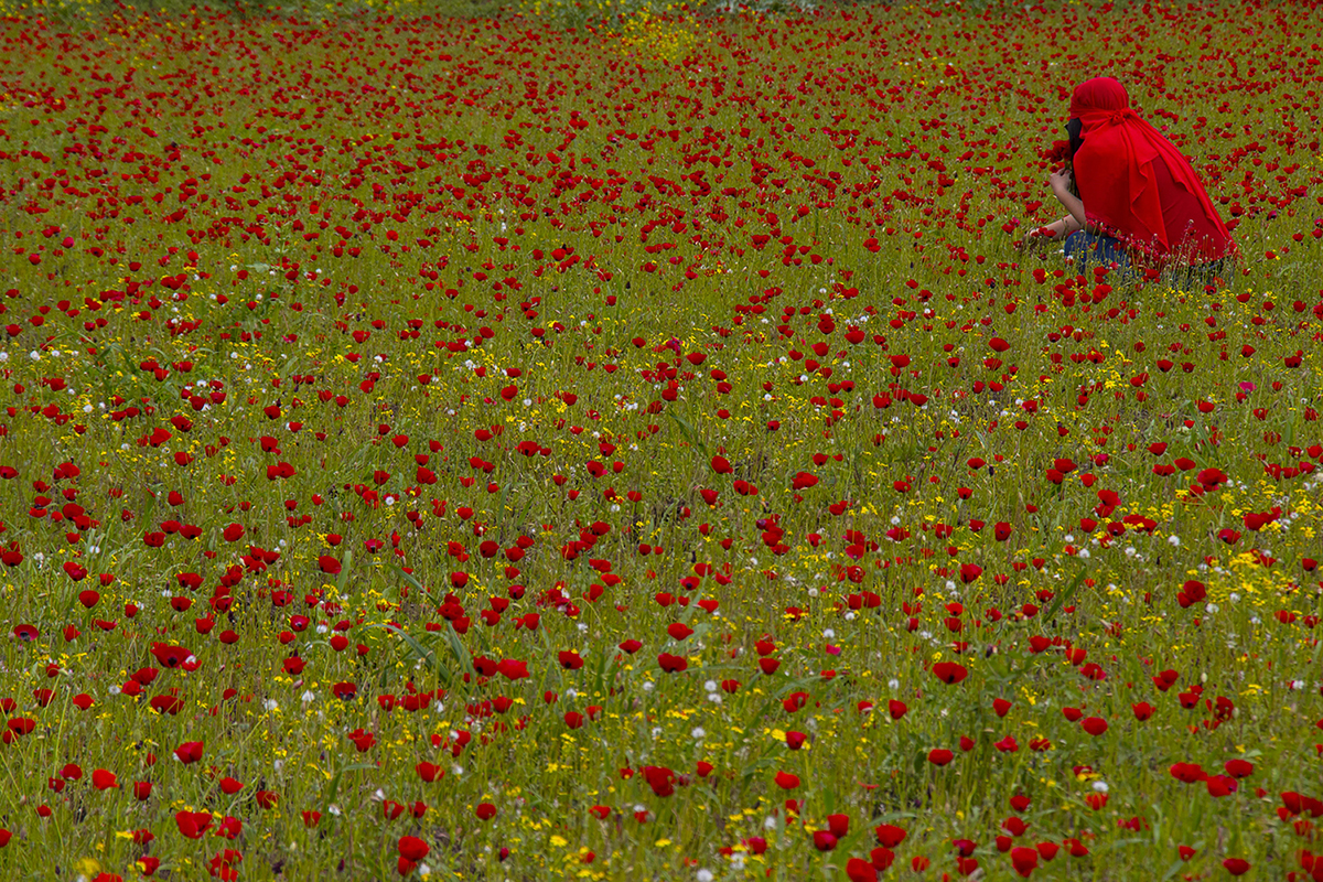 A woman collects poppies in the foothills of the Nur Mountains in Hatay, Turkey, on April 4. Erdal Turkoglu/Anadolu Agency/Getty Images