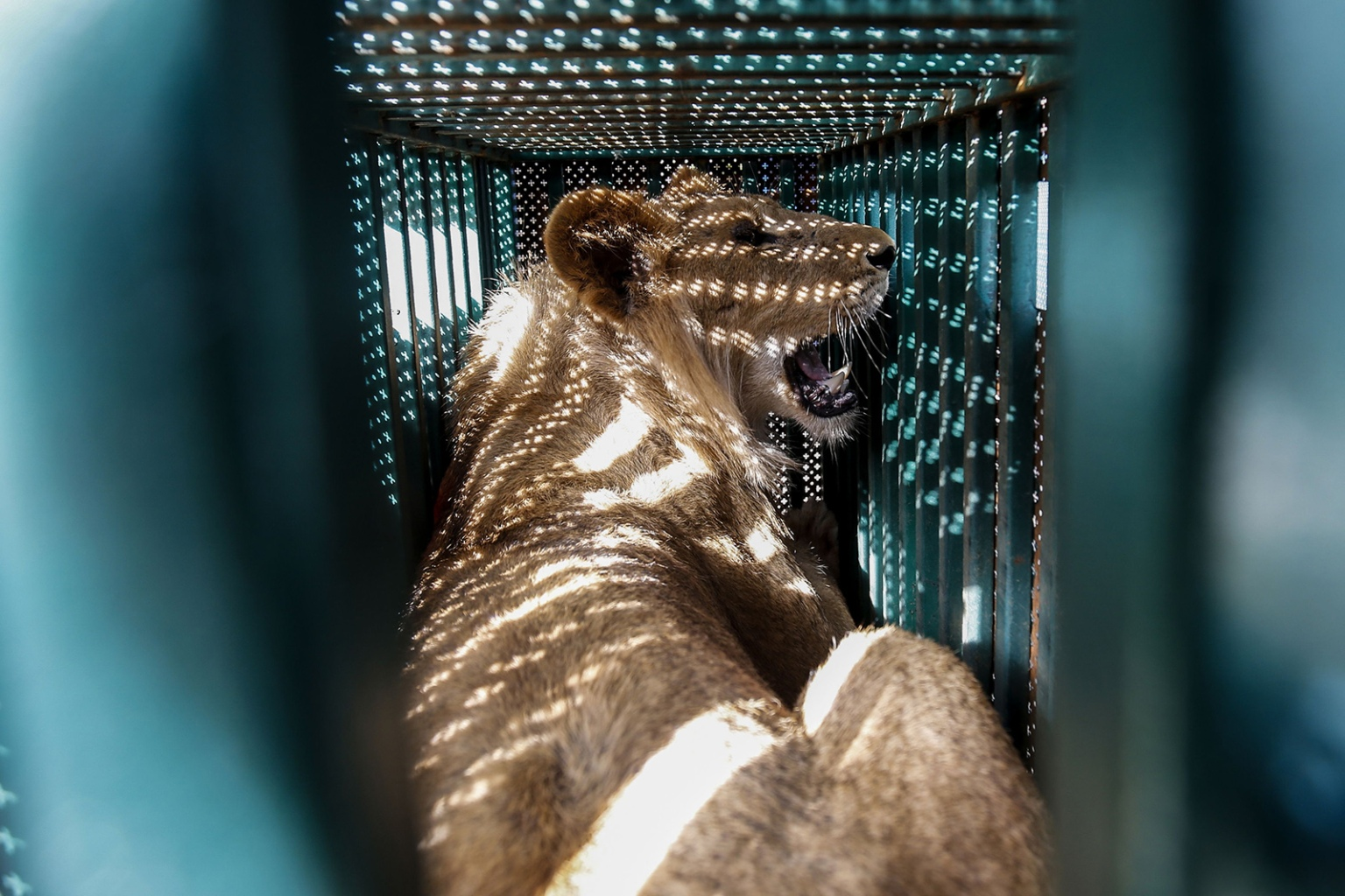 A sedated lioness rests in a cage at a zoo in Rafah in the southern Gaza Strip during her evacuation to a sanctuary in Jordan on April 7. Forty animals, including five lions, were rescued from squalid conditions, according to the international animal welfare charity Four Paws SAID KHATIB/AFP/Getty Images