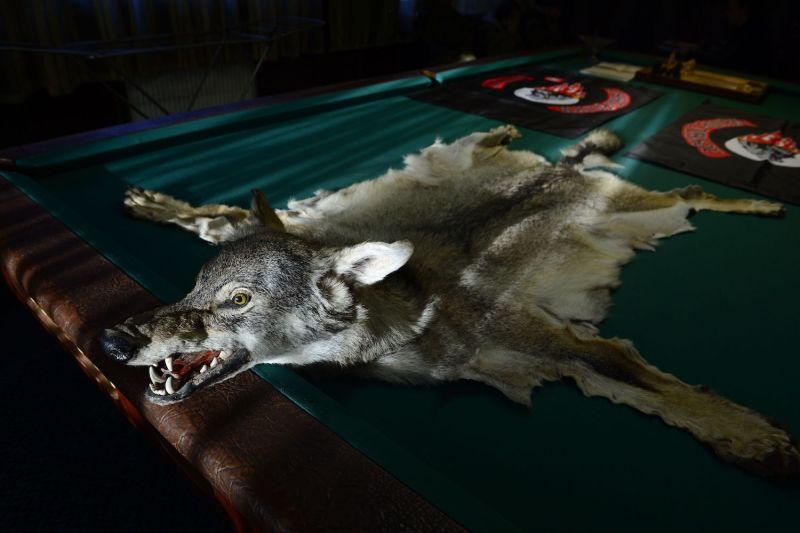 A wolf skin is laid out on a pool table in the clubhouse of the Donbass Night Wolves motorcycle club in Luhansk on March 17, 2015. Members of the club have been fighting alongside rebels of the self-proclaimed Luhansk People's Republic.