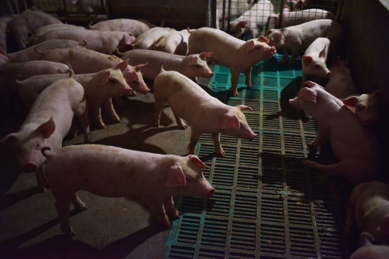 Piglets stand in a pen at a pig farm in Yiyang county, in China's central Henan province, on Aug. 10, 2018.