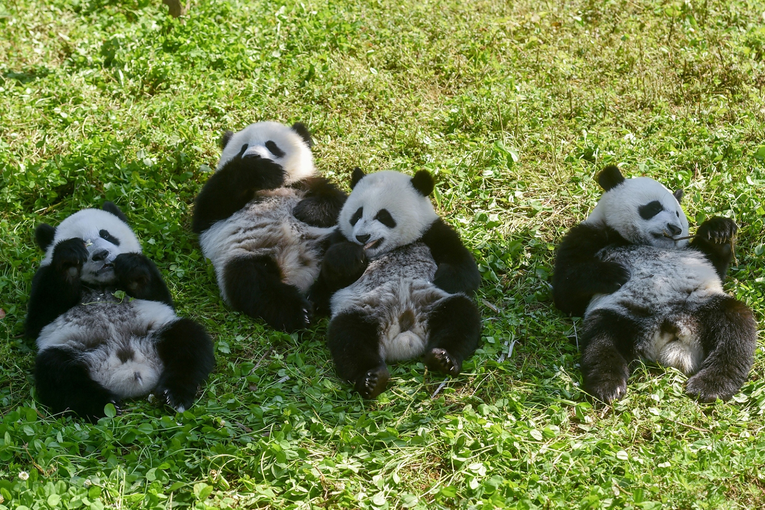 Nearly 1-year-old cubs roll on the grass at the Wolong National Nature Reserve in Wenchuan, in China's southwestern Sichuan province, on June 13. Born to a wild father and captive mother, the cubs birth mark an important achievement in preservation of the country's beloved animal. STR/AFP/Getty Images