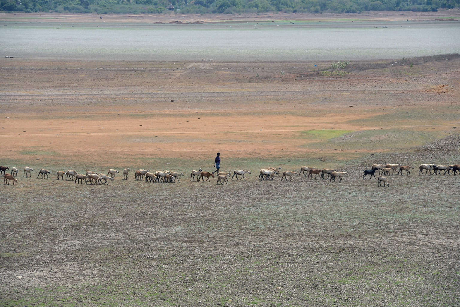 An Indian shepherd walks with lifestock on the dried Puzhal reservoir on the outskirts of Chennai on June 14. Water levels in the four main reservoirs in Chennai have fallen to one of its lowest levels in 70 years. ARUN SANKAR/AFP/Getty Images