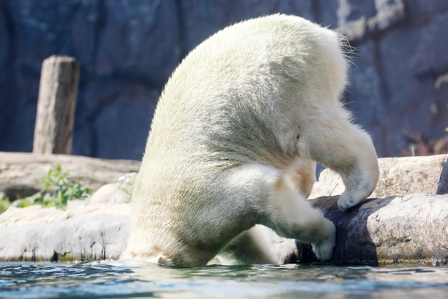 A polar bear jumps in the water at the zoo during a heat weave in Gelsenkirchen, western Germany, on June 25. ROLAND WEIHRAUCH/AFP/Getty Images