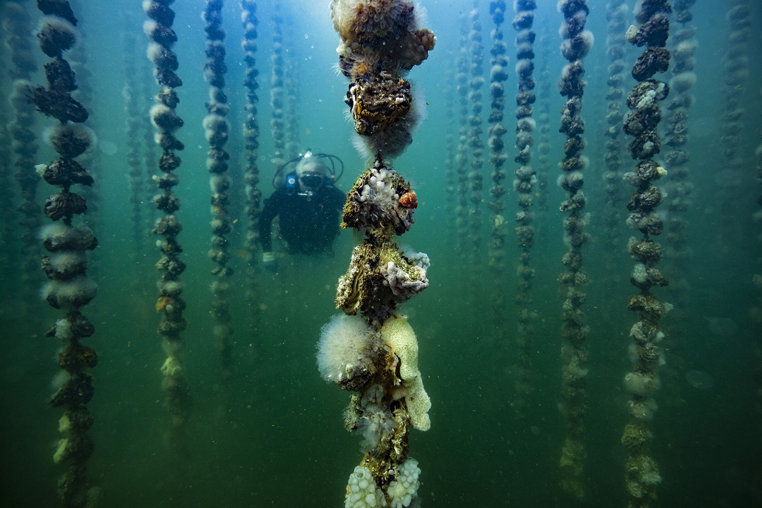 French oyster aquaculturist Jean-Christophe Cabrol checks the growth of oysters on collector lines at a shellfish farminBouzigues, near Montpellier, France on July 2. BORIS HORVAT/AFP/Getty Images