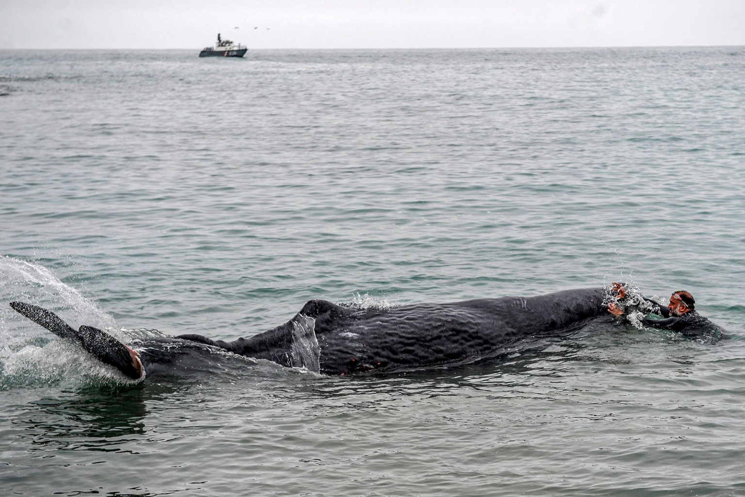 A man helps a sperm whale stranded at San Bartolo beach, in Lima, on Aug. 20. ERNESTO BENAVIDES/AFP/Getty Images