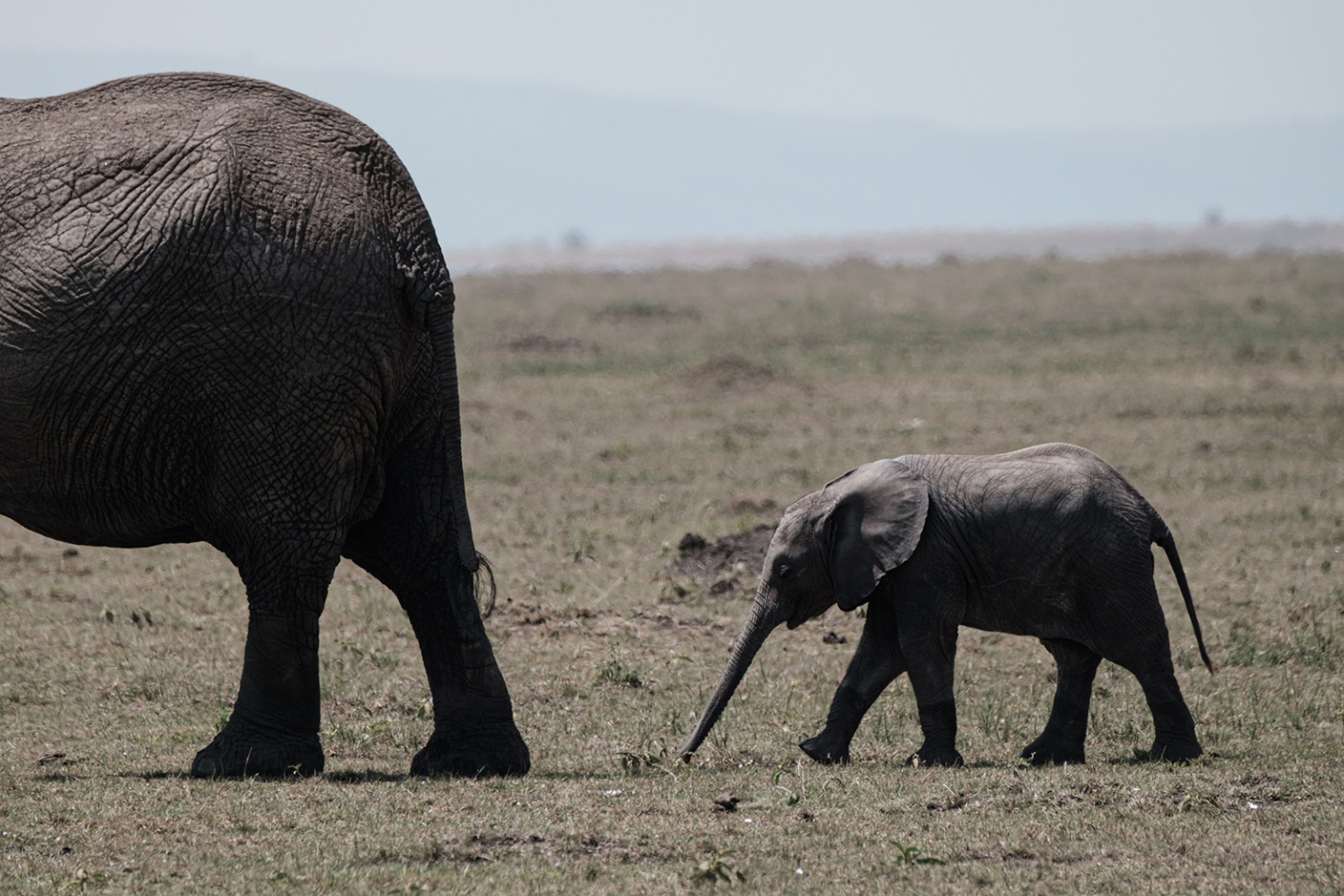 An elephant follows its mother in the Masai Mara game reserve in Kenya on Sept. 20. YASUYOSHI CHIBA/AFP/Getty Images