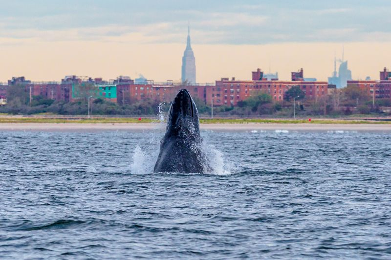 A humpback whale spyhops off Rockaway Beach in New York City with the Empire State Building in the background on Sept. 23, 2013.