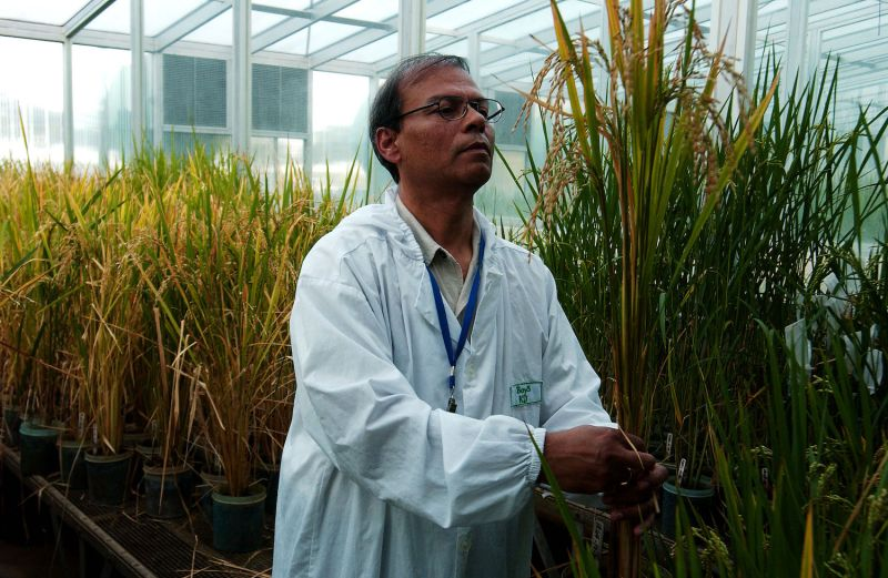 Plant biotechnologist Swapan Datta inspects a genetically modified Golden Rice plant at the International Rice Research Institute in Los Baños, the Philippines, on Nov. 27, 2003.