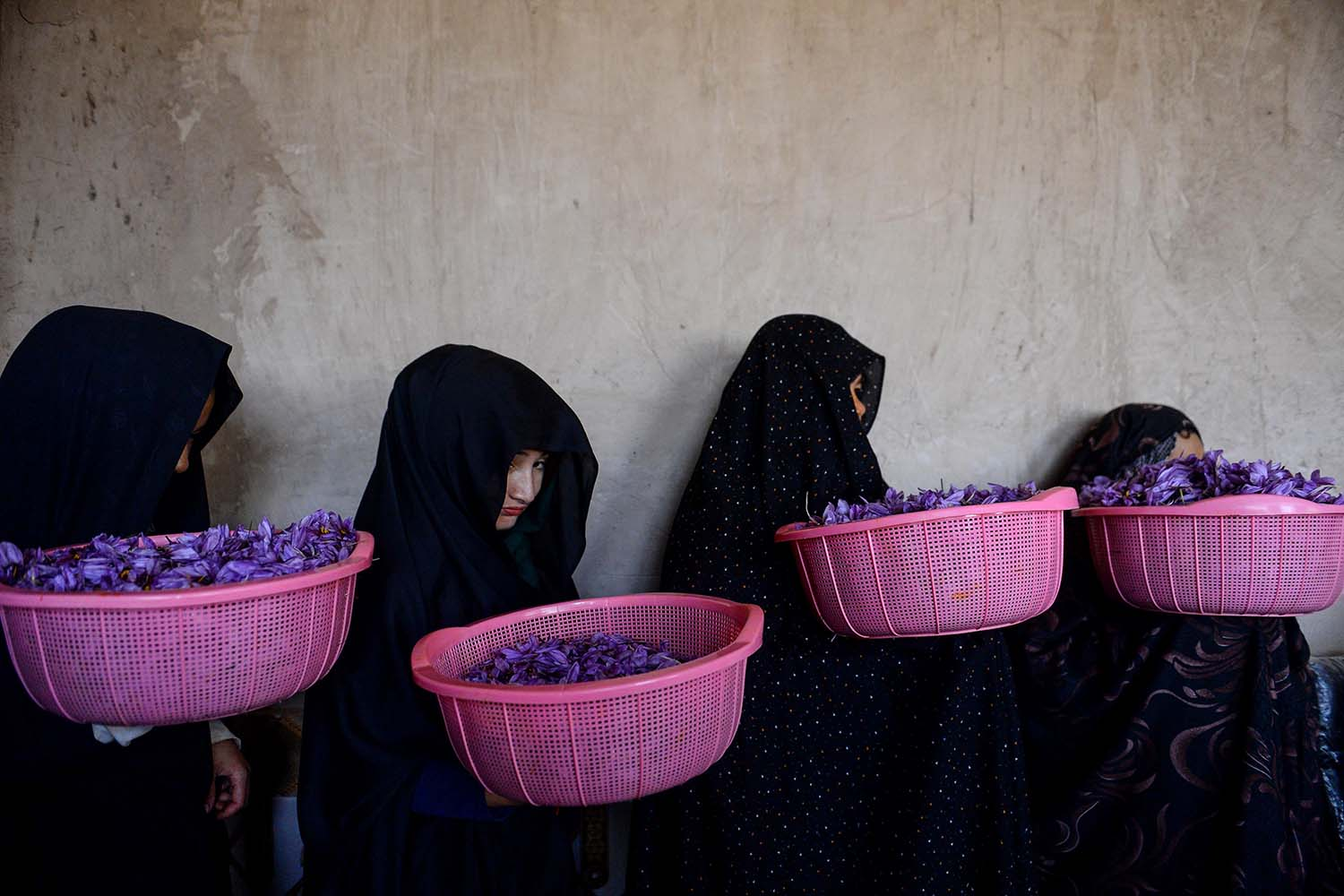 Workers carry buckets of saffron flowers to sort them at a cleaning center in Herat province, Afghanistan, on Nov. 13. HOSHANG HASHIMI/AFP via Getty Images